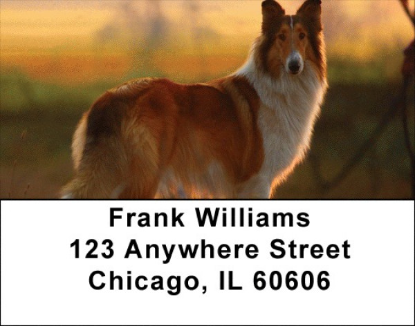 Collies Out and About Address Labels